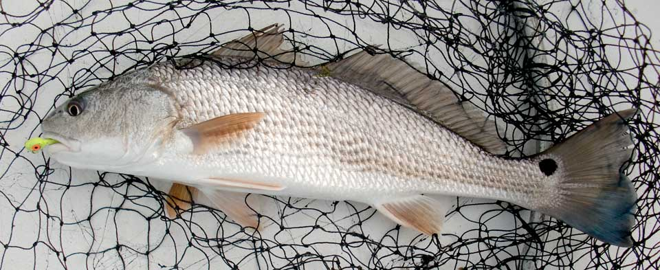 Red drum Outer Banks Fishing