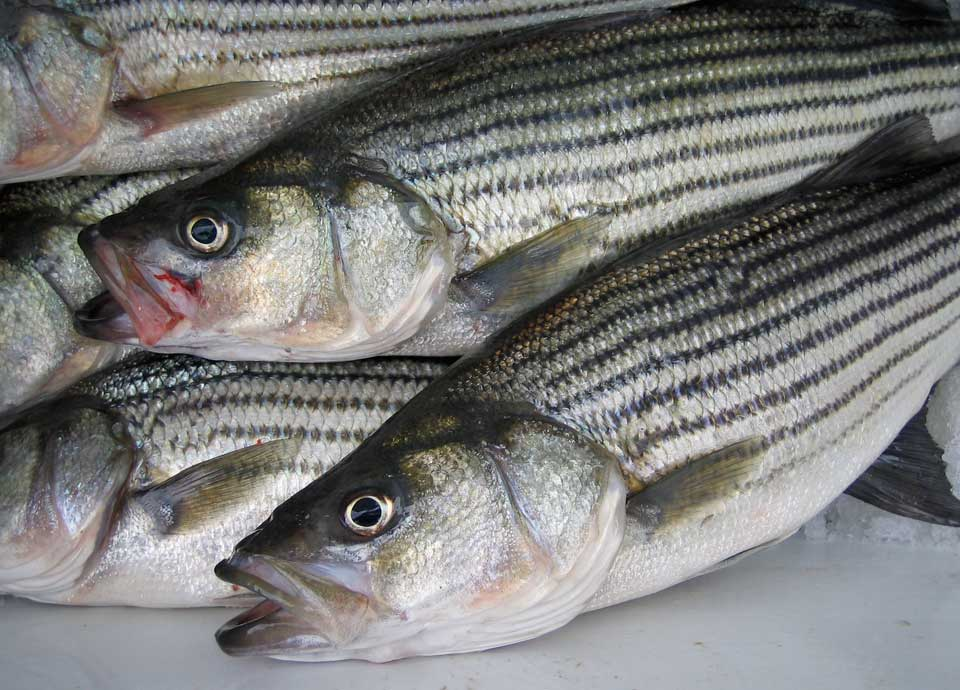 Outer banks fishing report striped bass for Obx fishing reports