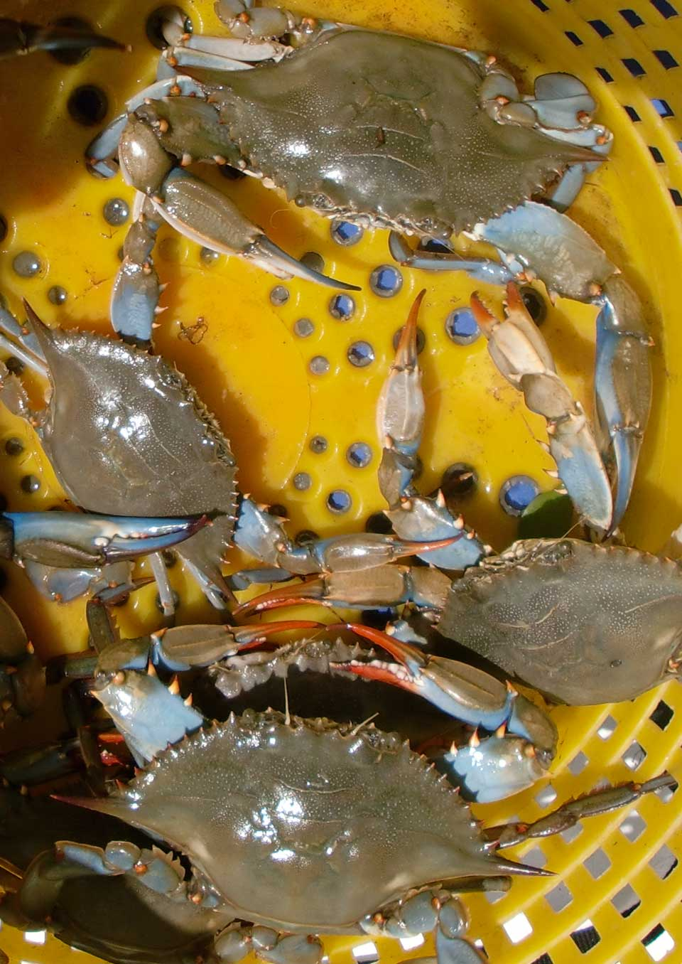 Obx fishing outer banks blue crabs for Blue crab fishing