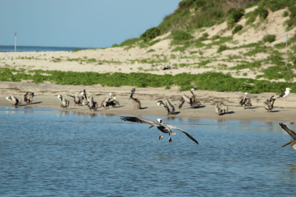 Outer Banks Brown pelicans