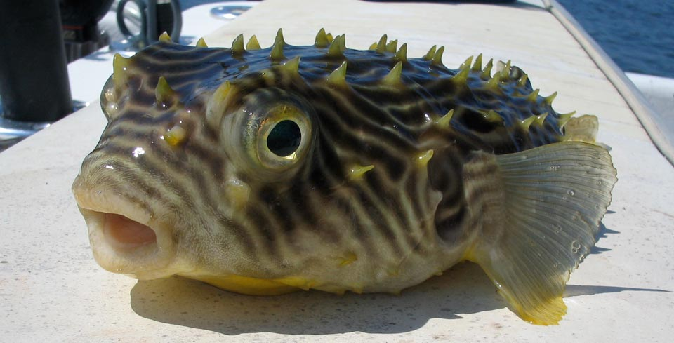 Outer Banks Striped burrfish