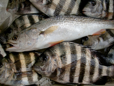Outer Banks Sheepshead and Weakfish